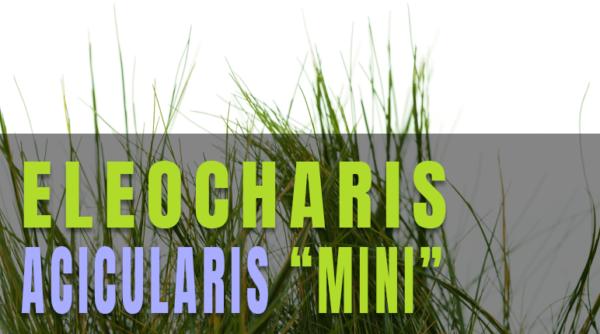 Eleocharis Acicularis Mini, una de las plantas tapizantes más vendidas del mercado en el sector de la acuariofilia y el aquascaping.